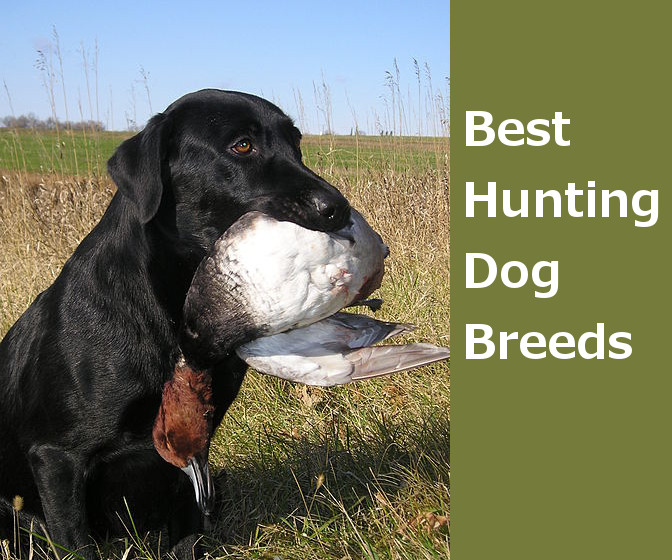 Deer hunting dog breeds - photo#9
